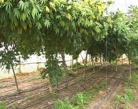 Деревья конопли фото трава конопля вред и польза