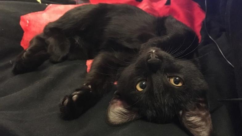 коронавирус кошек непатогенный