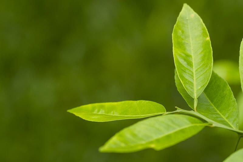 как вырастить лимон из семечки