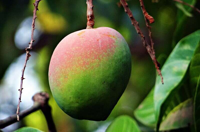 kak-virastit-mango