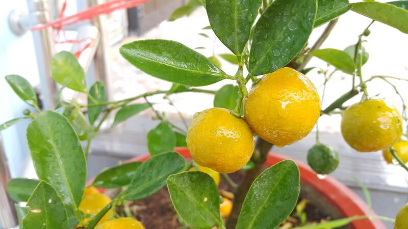 выращиваем лимон из косточки в домашних условиях