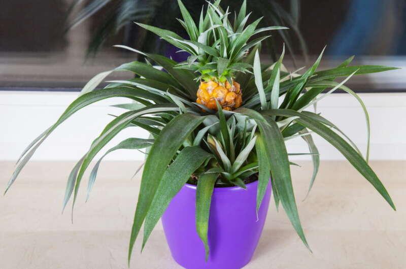 Как вырастить ананас в домашних условиях- секреты выращивания и ухода за растением дома (инструкция с фото и видео)