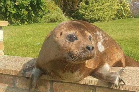 Тет-а-тет: британскую пенсионерку навестил нахальный тюлень-1200x800