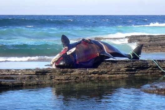 На пляже в Великобритании обнаружили всю в крови мертвую косатку